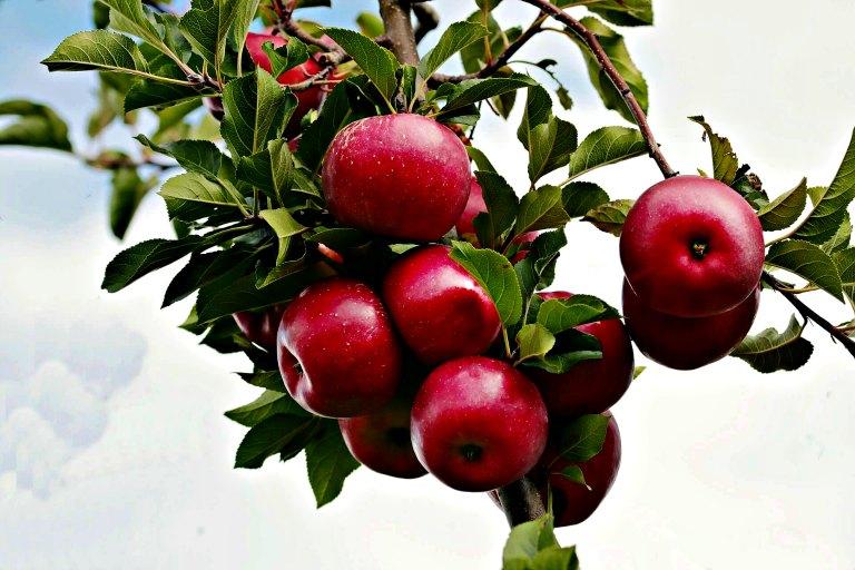 des pommes rouges sur une branche